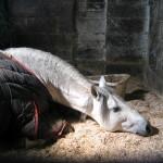 White stallion sleeping in a ray of sunshine
