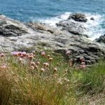 Spring on the cornish coastal path and sea pinks