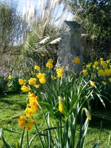 Mixed Daffodils Ednovean farm near Penzance gardens