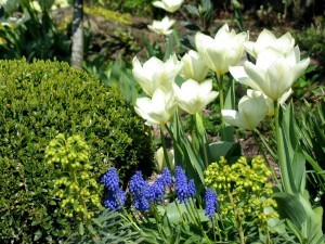 Tulips and formal topiary in Cornwall
