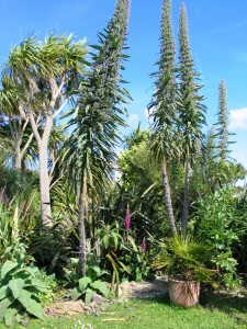 Echiums in the ednovean farm Gardens in June