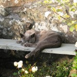 Grey burmese cat
