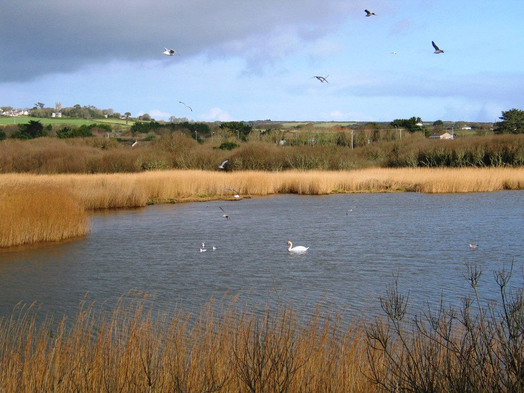 Swan on marazion marsh