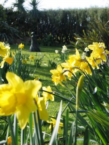Daffodils in a cornish spring garden
