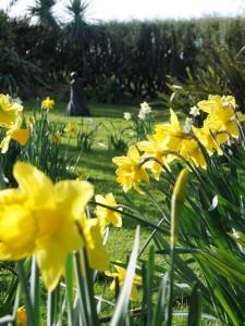 Daffodils in a cornish spring garden