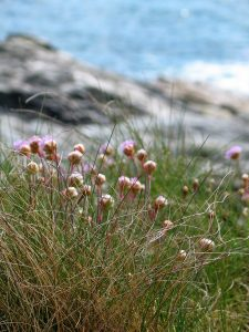 Sea Pinks above the sea to the east of Ednovean Farm along the coastal footpath