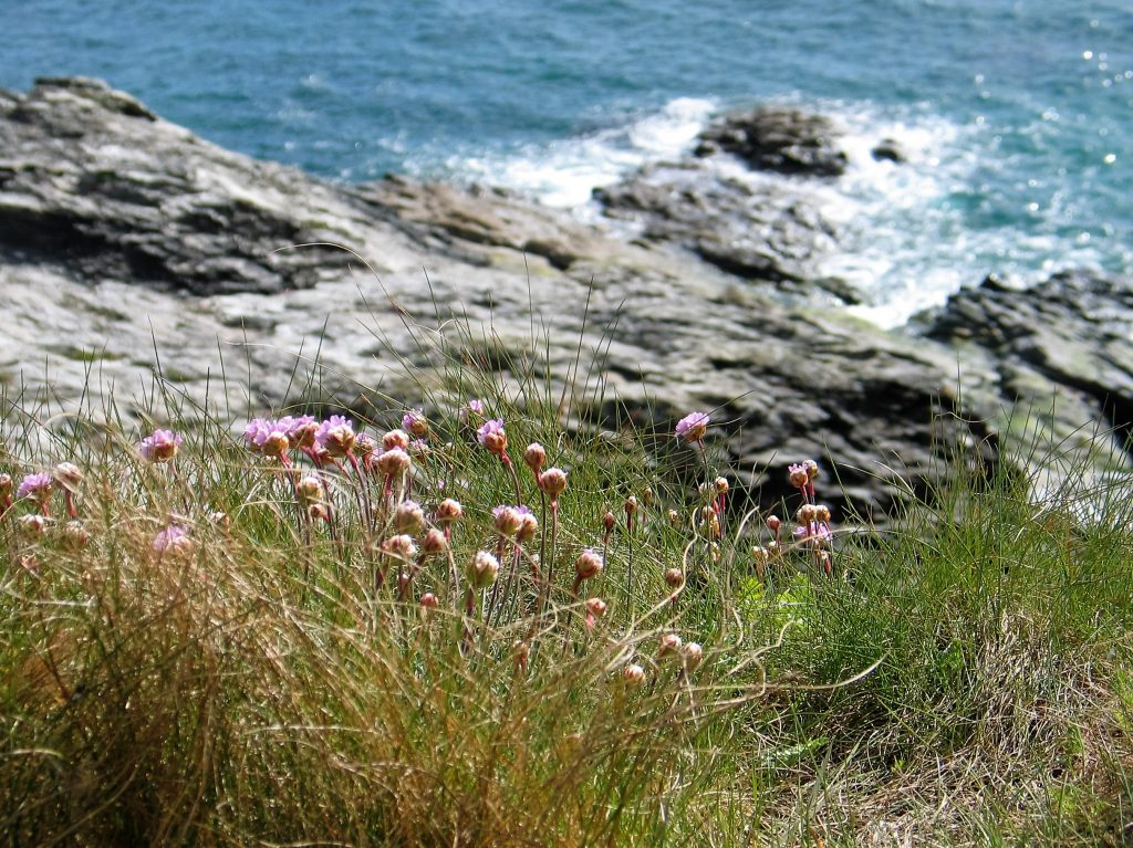 Sea pinks on the coastla footpath east of Perranuthnoe