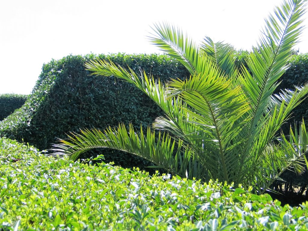 The newly cut hedges in the Italian Gardens at Ednovean Farm make lush garden rooms