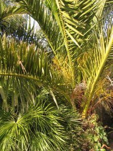 Phoenix Canariensis in flower in January
