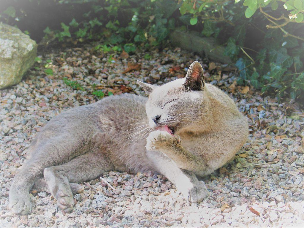 Cat preening
