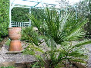 chamaerops humilis in a garden
