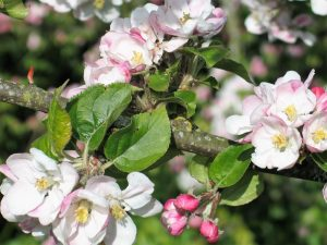 apple-blossom in the april garden