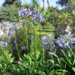 July garden with blue Agapanthus