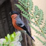 Pretty bullfinch garden visitor