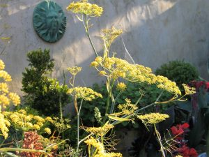 aromatic fennel caught by the first rays of sun