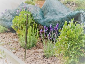 lavender netted against rabbits