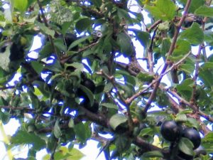 dense native blackthorn branches with sloe berries