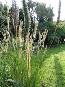 grasses in the august garden