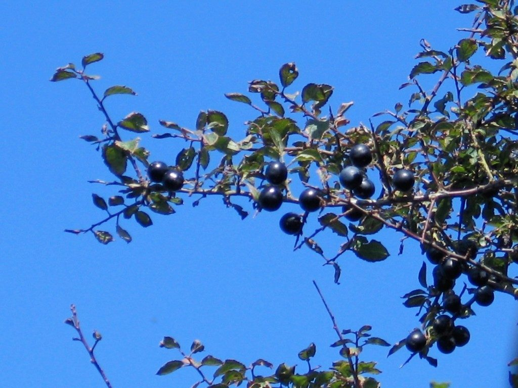 Black sloe berries against a blue sky