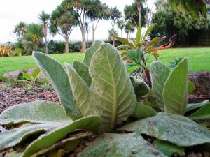 velvet grey leaves - mullein