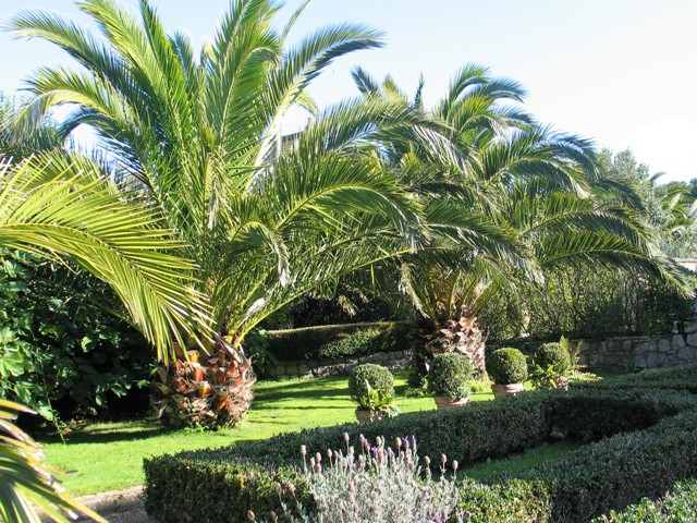 Date Palms beside Parterre