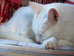 cosy purring white cat