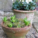 December garden diary - spring bulbs on the doorstep