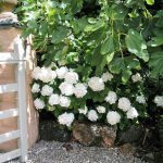 White hydrangeas in the shadow of fig trees frame the gateway