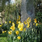 February days of spring -daffodils around a granite focal point