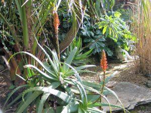 Aloe flowers in january's garden beside gravel path