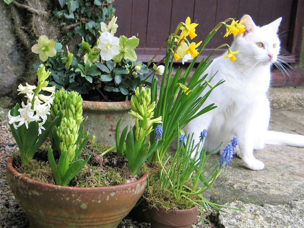 Terracota pots of spring floers and cat beside a doorway
