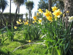 Happy Easter - Bright Daffodils in flower at Easter time in Cornwall