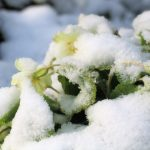 March madness buries the spring primroses under snow