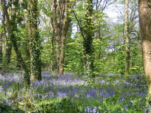 Drifts of Bluebells