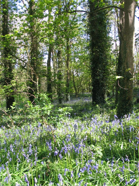Drifts of bluebells under ancient trees in Godolphin's Woodland
