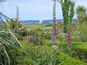 foxgloves and formal hedges above St Michael's Mount - May Garden Ednovean Farm