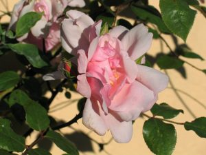 pink summer rose - june solstice garden ednovean
