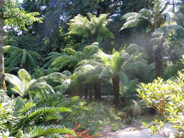 Tree ferns in clearings - trengwainton garden
