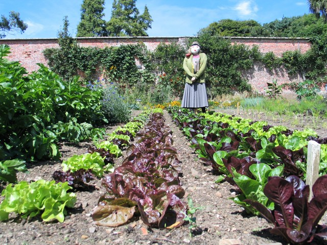 Colourful rows of vegetables in the kitchen garden