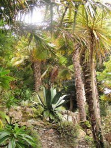 Agave trachycarpus fortunei