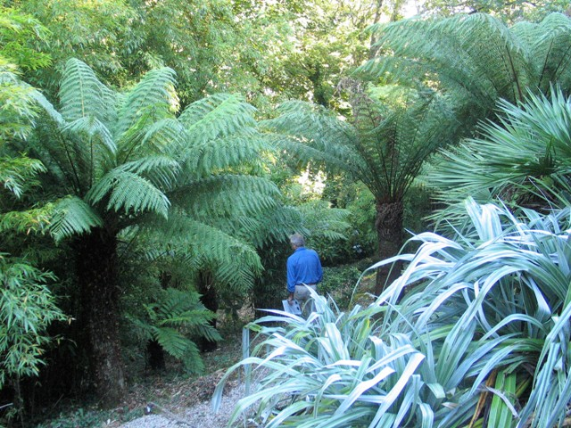 Magnificent Tree Ferns dwarfing a male figure