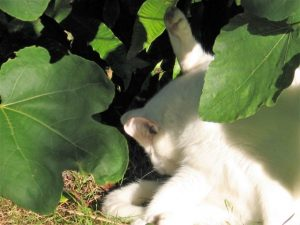 Cat washing under fig tree