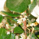 Tiny creamy white elaeagnus flowers