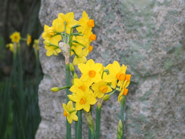 Early Narcissus Soleil d' Or