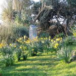 spring daffodils around a granite stone - spring holiday
