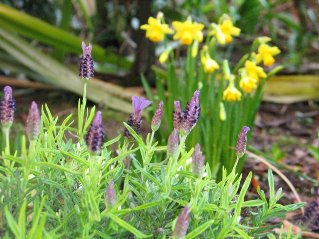 French lavender and daffodils in flower in our January garden
