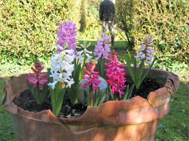 Malti coloured hyacinths - february garden
