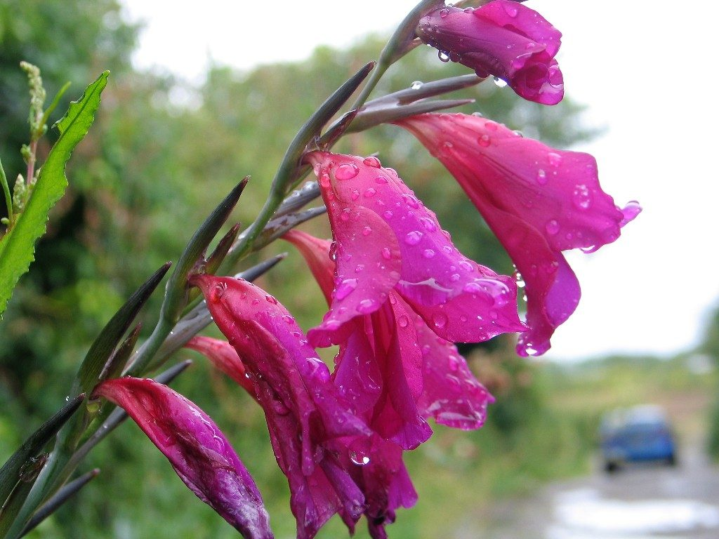 Deep pink flower - whistling jack - naturalised in cornish lanes